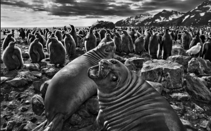 Fotografía de Sebastião Salgado, muestra de su exposición...
