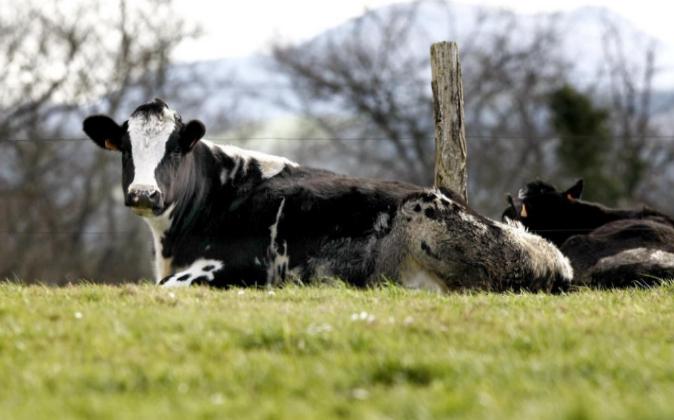 Una vaca rumiando en la localidad de Pontones (Cantabria).
