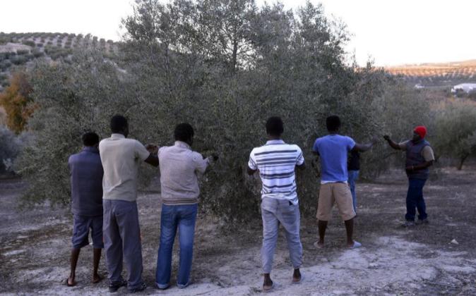 Temporeros llegados de países africanos en la recogida de la aceituna...