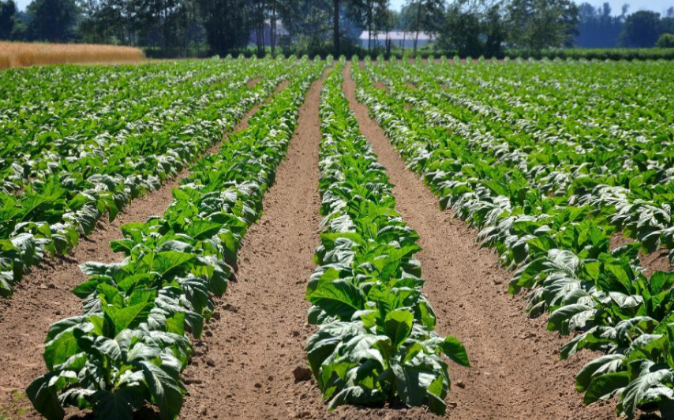 Plantación de tabaco en Ontario, Canadá.