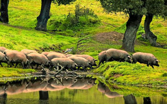os cerdos ibéricos se caracterizan por tener patas traseras largas y...