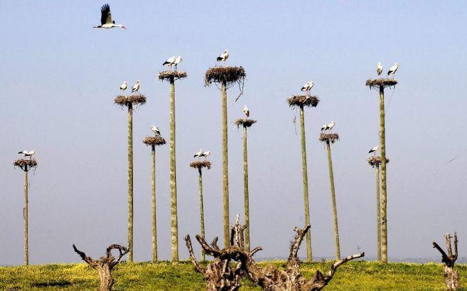 Asentamiento artificial de cigüeñas en Malpartida de Cáceres,...