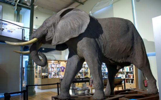 Elefante africano (Loxodonta africana) del Museo Nacional de Ciencias...