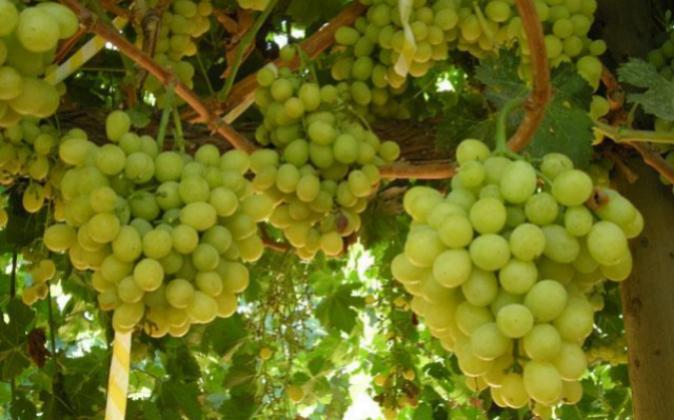 Uvas de Moyca.