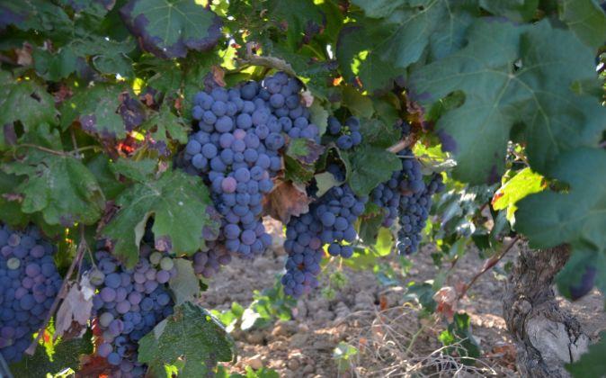 Uvas bobal, la variedad autóctona de Utiel-Requena.