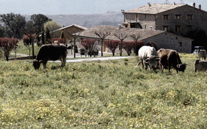Ganado de vacas pastando.