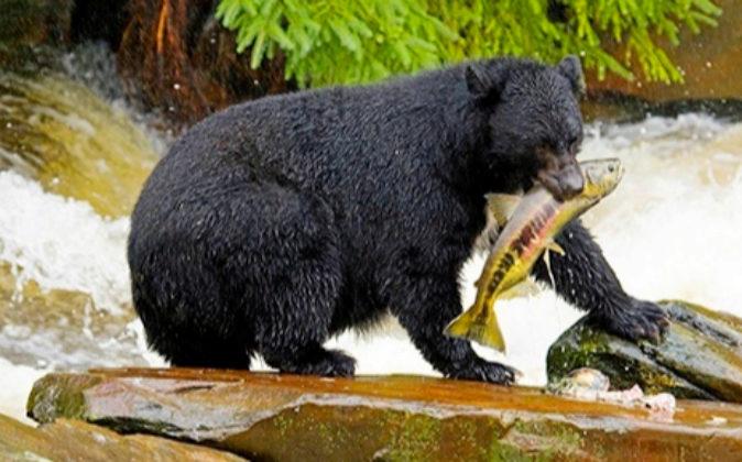 Si hay algo que define Canadá son sus osos pescando en la época que...