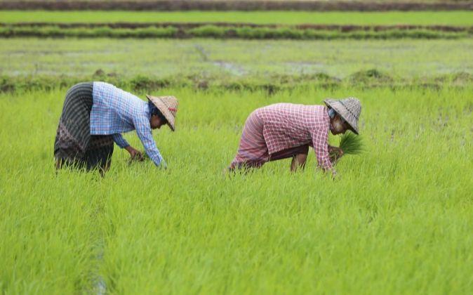 Dos mujeres trabajan en una plantación de arroz.