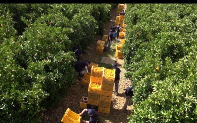 Campos de naranjos de Martínavarro durante la recogida.