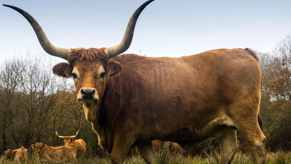 Vaca cachena