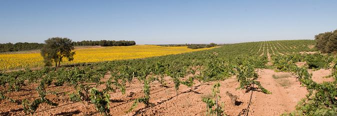 Imagen de los viñedos de Matasnos, con el bosque al fnndo.