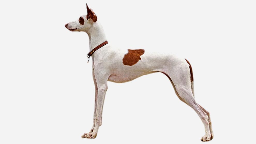 Perros españoles de caza