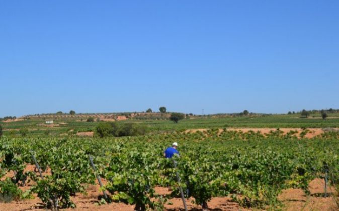 Viñedos en la comarca de Utiel-Requena en la provincia de Valencia.