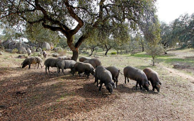 La dehesa es el ecosistema donde se cría el jamón ibérico de...