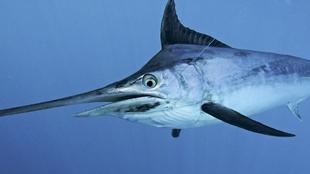 Ejemplar de marlín negro, uno de los peces picudos más apreciados en...