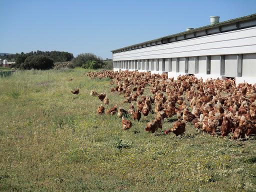 Centro de producción de huevo campero de Huevos Guillén en Sinarcas...