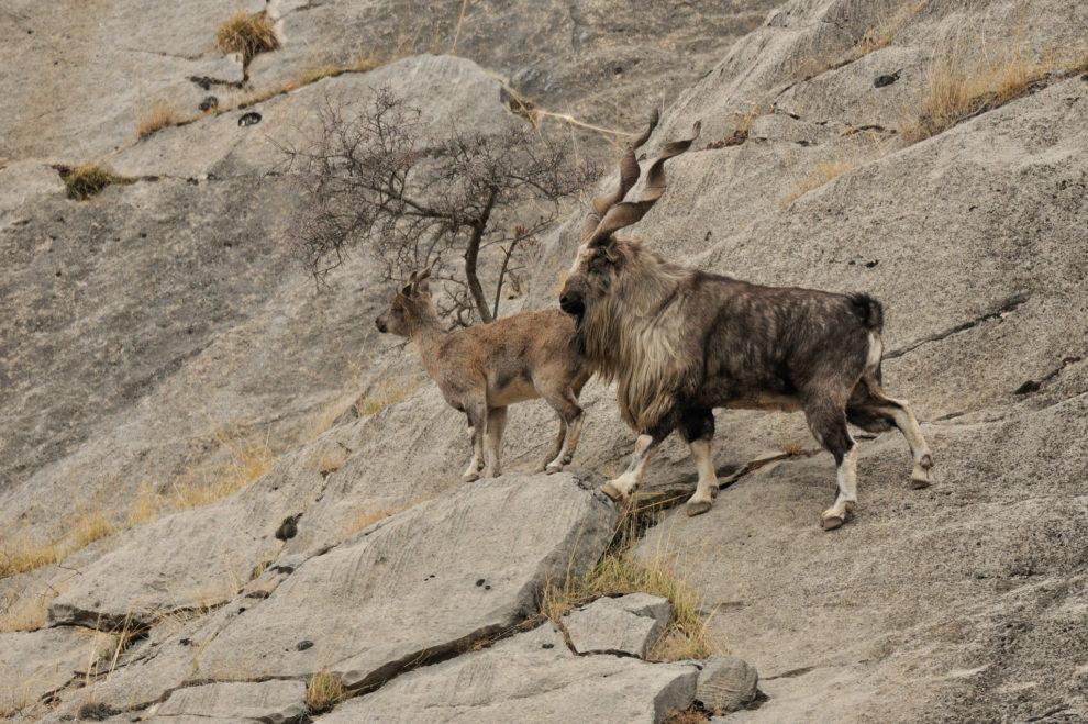 Macho y hembra de marjor en Tayikistán.