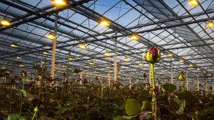 Instalaciones de Aleia Roses en Garray. El invernadero tiene 13.056...
