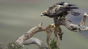 Águila real con un corcino en las garras.