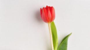 TULIPÁN  (Tulipa spp)  Del género de las bulbosas, familia de las...