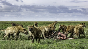 """Karibu Serengueti"" (Bienvenido al Serengeti en..."