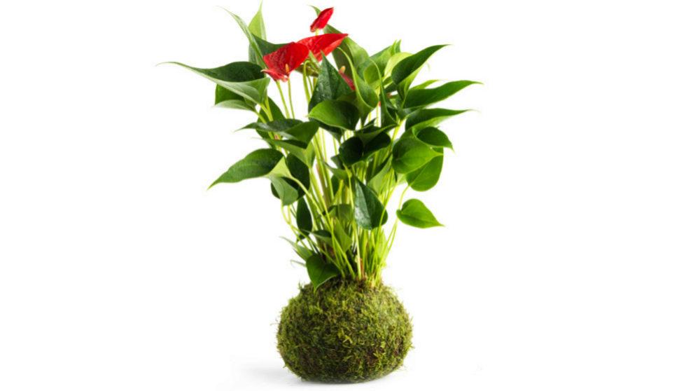 "El ""Anthurium scherzerianum"" es un grupo vistoso de..."