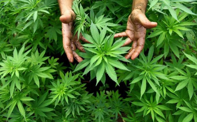 Sentencias: El mero cultivo de marihuana no supone tráfico de drogas