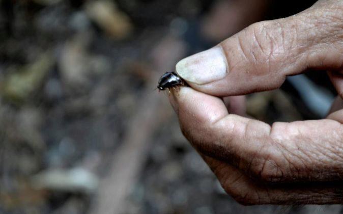 Granjas de cucarachas: un negocio tan repelente como lucrativo
