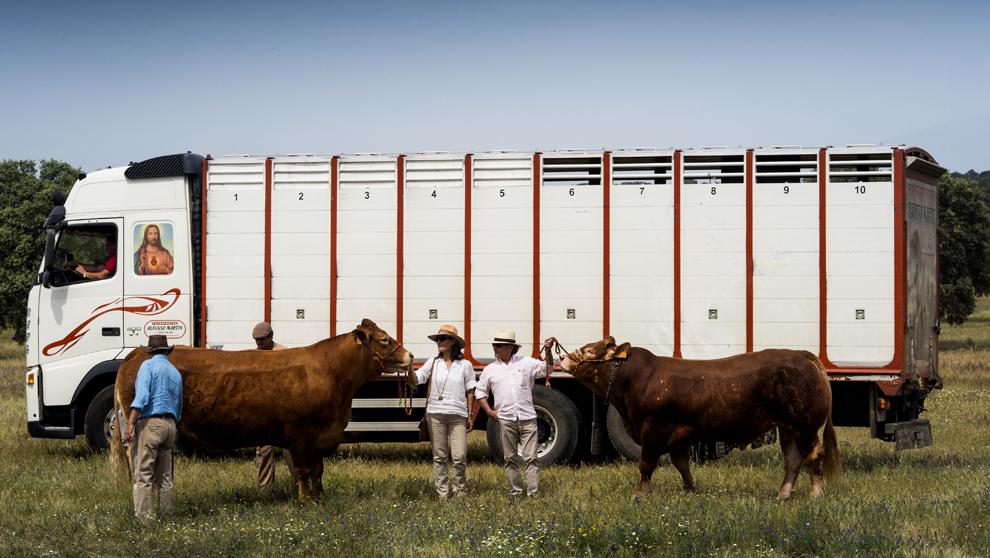 Vacas de la raza limusina de Jorge Manrique recién desembarcadas.