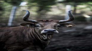 Marcela, nombre que los criadores han dado a la vaca de raza...
