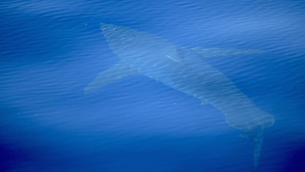 La imagen del tiburón blanco captada en Baleares por la expedición...