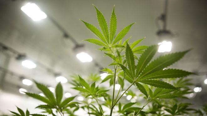 Fabricante de cerveza Corona apuesta por el mercado de la marihuana