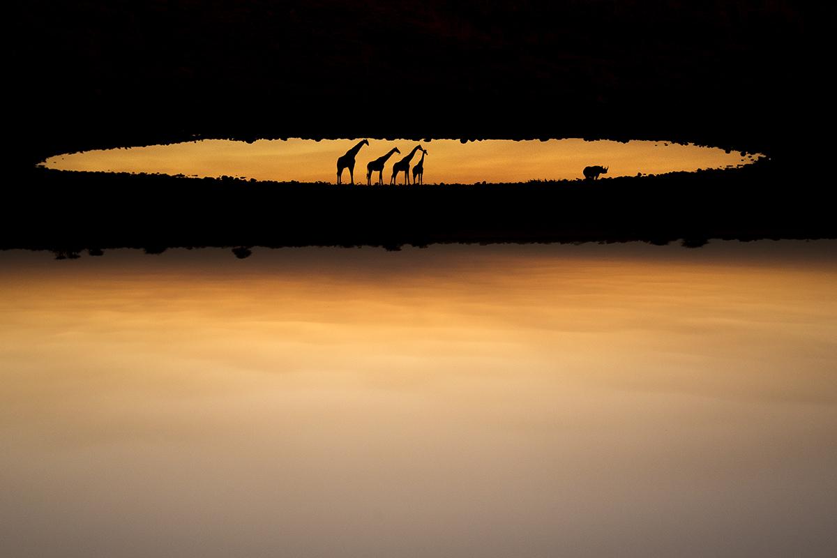Al atardecer un grupo de jirafas y un rinoceronte se reflejan en la...