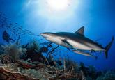 Empezamos con una propuesta salvaje: nadar entre tiburones en Los...