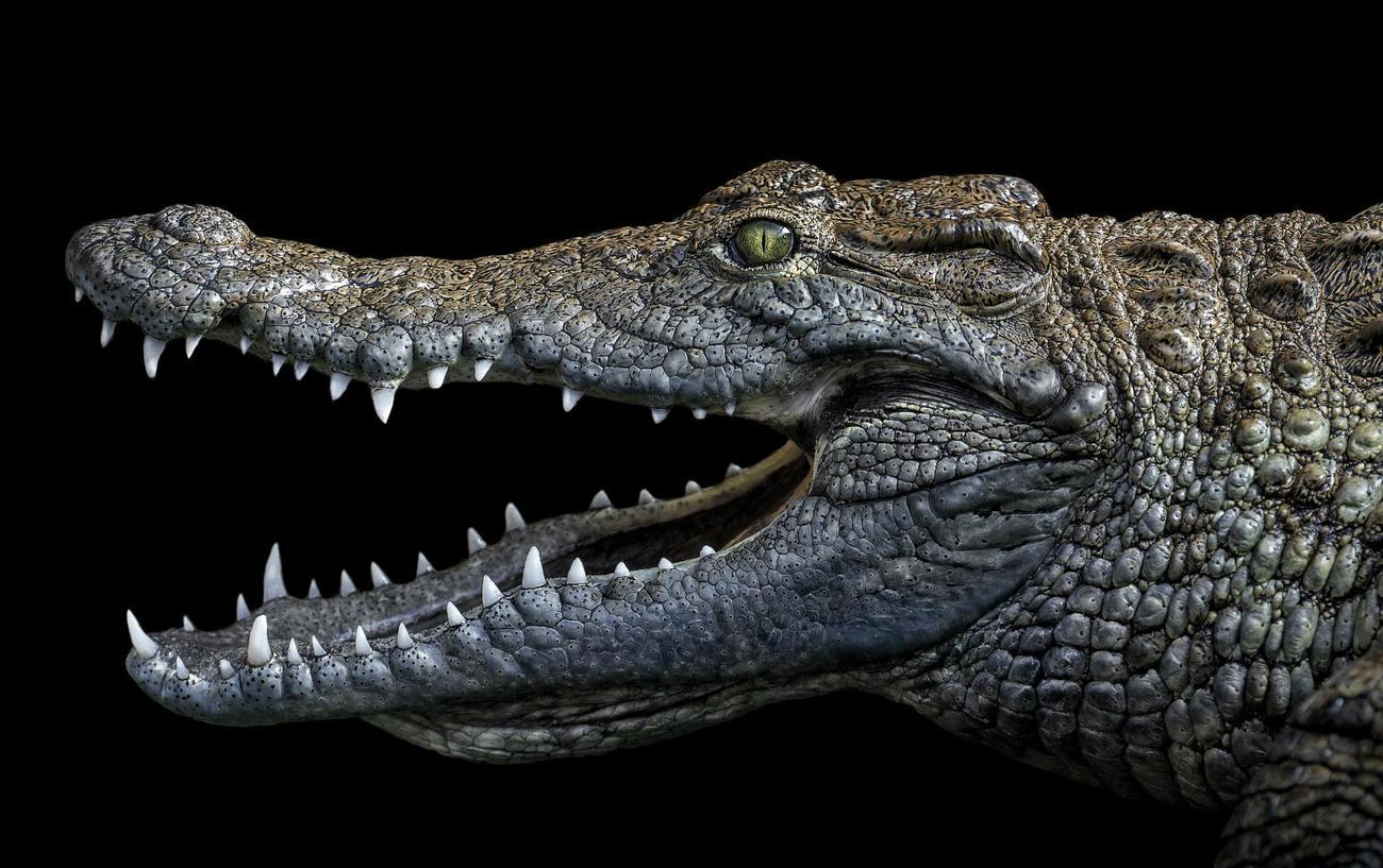 Ejemplar de cocodrilo del Nilo. Pedro Jarque Krebs lo fotografió en...
