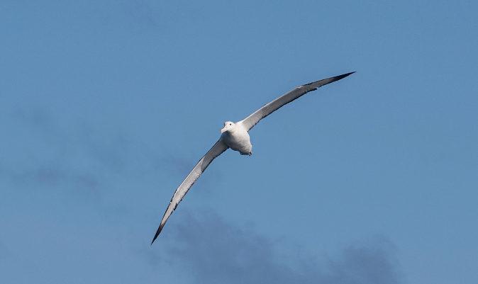Un albatros, sobrevolando el Bark Europa. JORDI PLANA