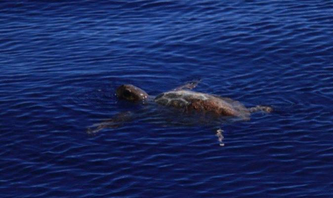 La primera tortuga marina que nos cruzamos.   M.I.