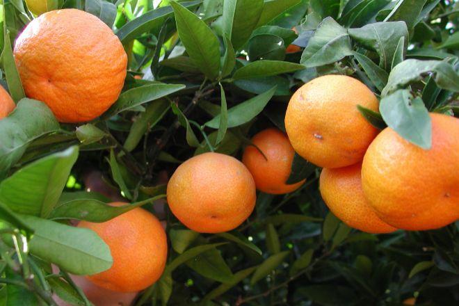 El Covid ha beneficiado la venta de variedades tardías de naranjas