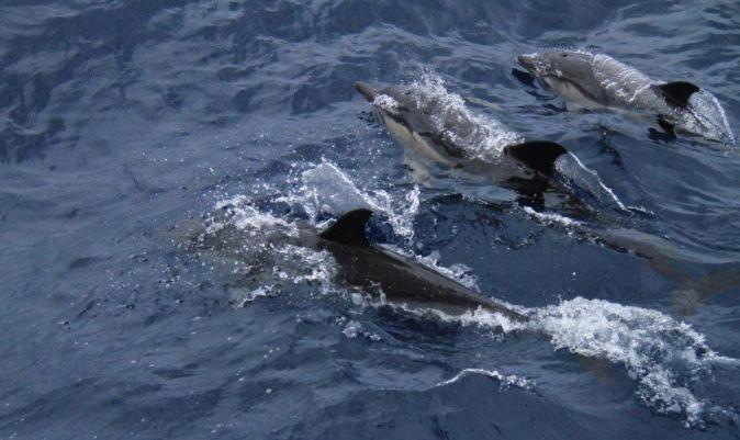 Delfines comunes con la tripa llena. | M.I.