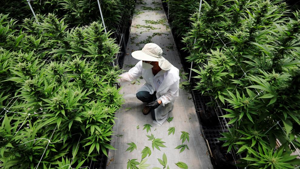 Un empleado de Pharmocann, observa una planta de cannabis. | AMIR...