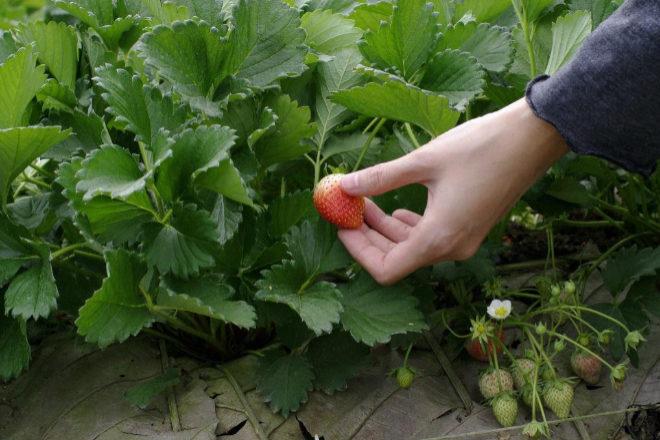 Campos de cultivo de fresas.