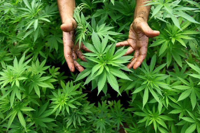 Los empresarios mexicanos piden al Gobierno aprovechar la oportunidad del cannabis con el T-MEC