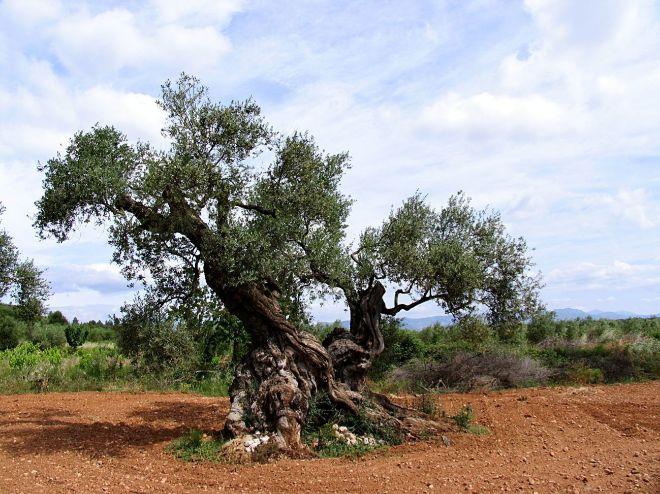 Olivos milenarios del Maestrat (Comunidad Valenciana).