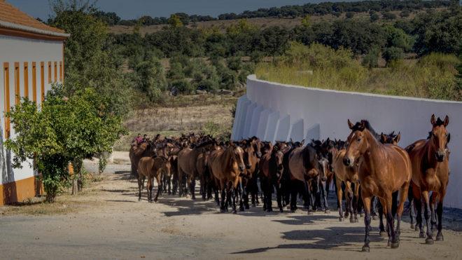 A las 10 de la mañana una manada de 60 yeguas con sus potros baja del campo y entra en el Patio de Yeguas.