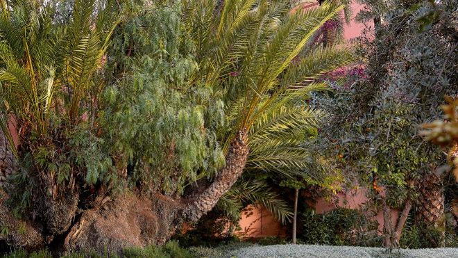 Uno de los grupos de palmeras centenarias hallados que obligaron a desviar los muros.