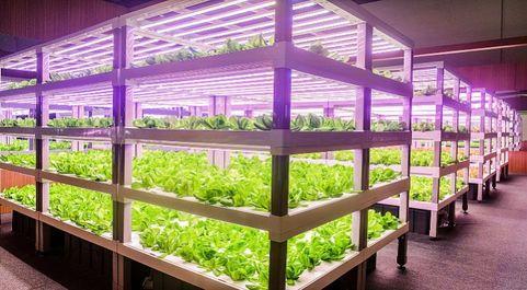Calidad y sabor: la agricultura vertical proporciona a los productos...