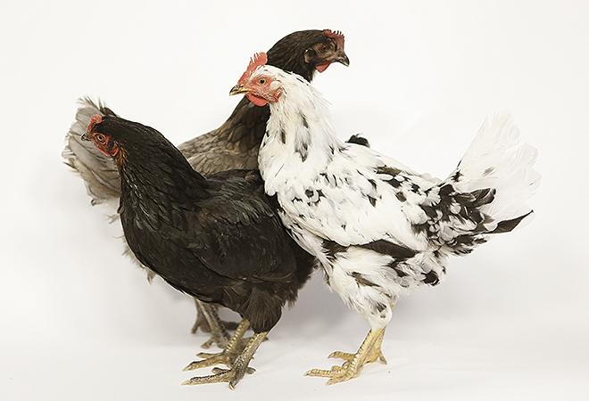 Bien alimentadas y en libertad, así viven estas gallinas.