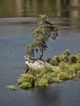 Se conoce así este pino porque crece en un promontorio rocoso que...