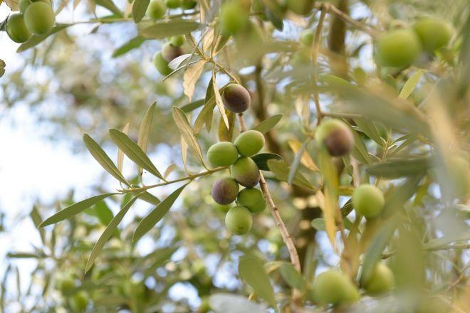 Ainia investiga el uso de proteínas de bacteriófagos contra la Xylella en el olivo
