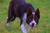 Kim, de 12 meses, fue entrenada por Dewi Jenkins de Talybont (Gales) y...